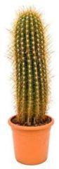 Plantenwinkel.nl Trichocereus cactus pasacana XL kamerplant