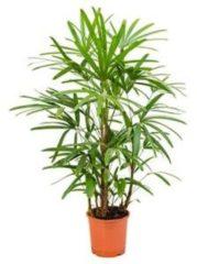 Plantenwinkel.nl Rhapis excelsa S bamboepalm kamerplant