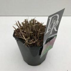 """Plantenwinkel.nl Prachtriet (Miscanthus sinensis """"Red Chief"""") siergras - In 2 liter pot - 1 stuks"""
