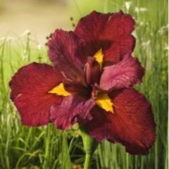 Moerings waterplanten Rode Japanse iris (Iris Louisiana Ann Chowning) moerasplant - 6 stuks