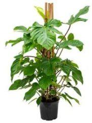 Plantenwinkel.nl Philodendron squamiferum kamerplant