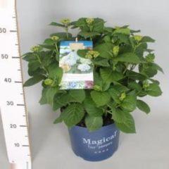 "Plantenwinkel.nl Hydrangea Macrophylla ""Magical Revolution Blue""® boerenhortensia - 40-50 cm - 1 stuks"