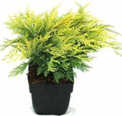 "Plantenwinkel.nl Schijncipres (Chamaecyparis lawsoniana ""Sunkist"") conifeer - 6 stuks"