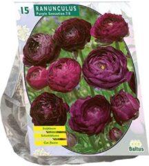 Baltus Ranonkel Purple Sensation | Aantal stuks 15| Voorjaarsbloeiers | Bloembollen | Flower bulbs | Bloemen & Planten
