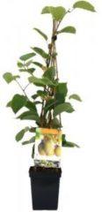 """Plantenwinkel.nl Kiwi (actinidia chinensis """"Jenny"""") fruitplanten - 3 stuks"""