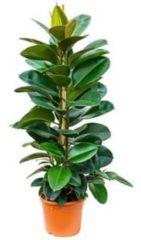Plantenwinkel.nl Ficus robusta L kamerplant