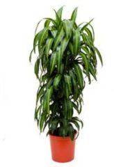 Plantenwinkel.nl Dracaena hawaiian sunshine L kamerplant