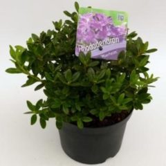 "Plantenwinkel.nl Dwerg rododendron (Rhododendron ""Moerheim"") heester - 6 stuks"