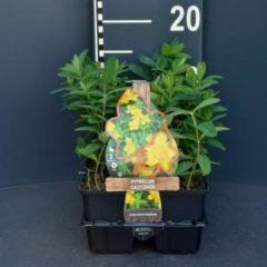 Plantenwinkel.nl Hertshooi (hypericum calycinum) bodembedekker - 6-pack - 1 stuks