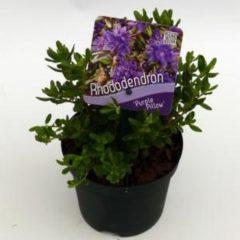 "Plantenwinkel.nl Dwerg rododendron (Rhododendron ""Purperkissen"") heester - 6 stuks"
