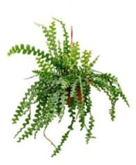 Plantenwinkel.nl Epiphyllum zaagcactus anguliger L hangplant