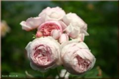Rosen-Direct Geoff Hamilton® - Container Rose im 5 ltr. Topf
