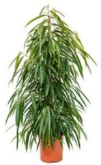 Plantenwinkel.nl Ficus alii L kamerplant