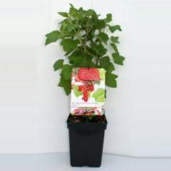 "Plantenwinkel.nl Rode bes (ribes rubrum ""Rovada"") fruitplanten - In 5 liter pot - 1 stuks"