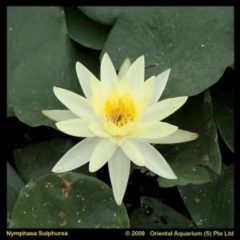 Moerings waterplanten Gele waterlelie (Nymphaea Sulphurea) waterlelie - 6 stuks