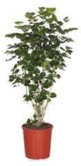 Plantenwinkel.nl Polyscias aralia balforiana M kamerplant