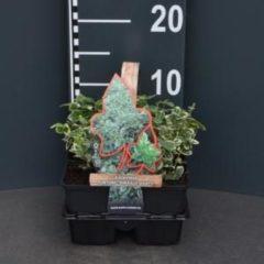 """Plantenwinkel.nl Kardinaalsmuts (euonymus fortunei """"Emerald Gaiety"""") bodembedekker - 4-pack - 1 stuks"""