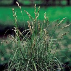 Moerings waterplanten Palmzegge (Carex Muskingunemsis) moerasplant - 6 stuks