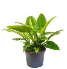 Plantenwinkel.nl Philodendron imperial groen M kamerplant