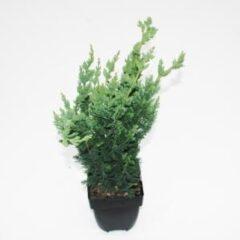 """Plantenwinkel.nl Schijncipres (Chamaecyparis lawsoniana """"Wisselii"""") conifeer - 6 stuks"""