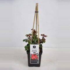 "Plantenwinkel.nl Klim trosroos (rosa ""Roter Korsar""®)"