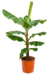 Plantenwinkel.nl Bananenplant musa dwarf cavendish XL kamerplant