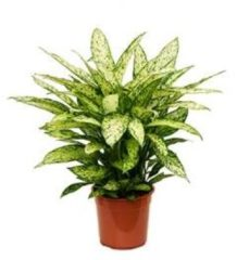 Plantenwinkel.nl Dieffenbachia vesuvius L kamerplant