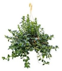 Plantenwinkel.nl Hypocirta glabra hangplant