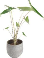 Grijze Plantenwinkel.nl Plantenwinkel Alocasia zebrina XS plant in pot esra mystic grey