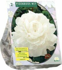 Baltus Pioenroos Wit | 2 stuks | zomerbloeier | snijbloem