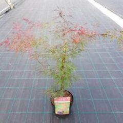 """Plantenwinkel.nl Japanse esdoorn (Acer palmatum """"Firecracker"""") heester - 3 stuks"""