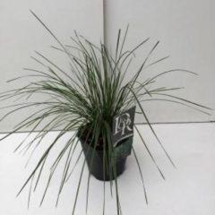 "Plantenwinkel.nl Ruwe smele (Deschampsia cespitosa ""Goldtau"") siergras - 6 stuks"