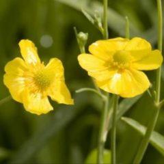 Moerings waterplanten Grote boterbloem (Ranunculus lingua) moerasplant - 6 stuks