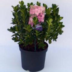 "Plantenwinkel.nl Rododendron (Rhododendron Japonica ""Kirstin"") heester - 3 stuks"