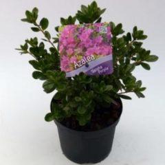 "Plantenwinkel.nl Rododendron (Rhododendron Japonica ""Geisha Purple"") heester - 15-20 cm - 8 stuks"