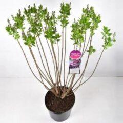 "Plantenwinkel.nl Sering (syringa vulgaris ""Michel Buchner"") - 90-120 cm - 1 stuks"