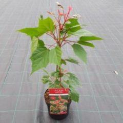 Rode MyPlantshop.eu Acer conspicuum 'Red Flamingo; Totale hoogte 40-50 cm incl. Ø19cm pot | Bladkleur: Dieprood - roze | Slangenschors esdoorn