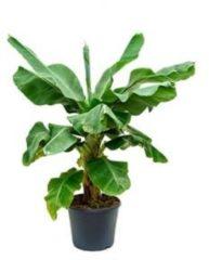 Plantenwinkel.nl Bananenplant musa dwarf cavendish L kamerplant
