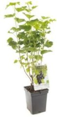 """Plantenwinkel.nl Jostabes (ribes nigrum """"Jostabes"""") fruitplanten - In 5 liter pot - 1 stuks"""