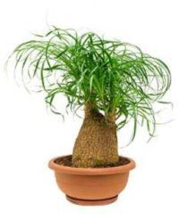 Plantenwinkel.nl Beaucarnea recurvata ollie kamerplant