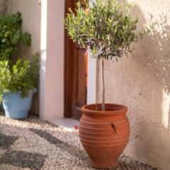 Groene WoonQ XL Winterharde Olijfboom 'Olea Europaea' op stam