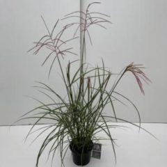 """Plantenwinkel.nl Prachtriet (Miscanthus sinensis """"Ferner Osten"""") siergras - In 3 liter pot - 1 stuks"""
