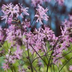 Moerings waterplanten Echte koekoeksbloem (Silene flos-cuculi) moerasplant - 6 stuks