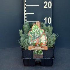 "Plantenwinkel.nl Lavendel (lavandula angustifolia ""Edelweiss"") bodembedekker - 6-pack - 1 stuks"