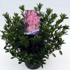 "Plantenwinkel.nl Rododendron (Rhododendron Japonica ""Silvester"") heester - 3 stuks"