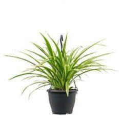 Plantenwinkel.nl Chlorophytum irse hangplant