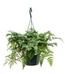 Plantenwinkel.nl Humata teyermanii varen hangplant