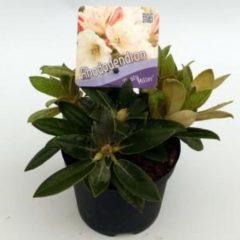 "Plantenwinkel.nl Rododendron (Rhododendron yakushimanum ""Dusty Miller"") heester - 8 stuks"