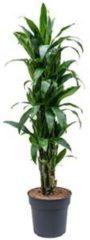 Plantenwinkel.nl Dracaena janet craig L kamerplant