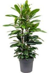 Plantenwinkel.nl Ficus cyathistipula M kamerplant